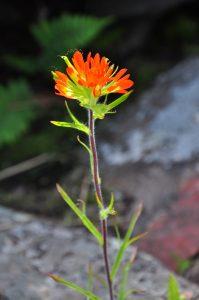 Photo of Indian Paintbrush flower
