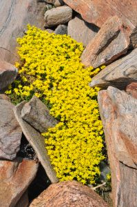 Photo of Mossy Stonecrop flower
