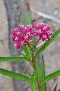 Photo of Swamp Milkweed flower